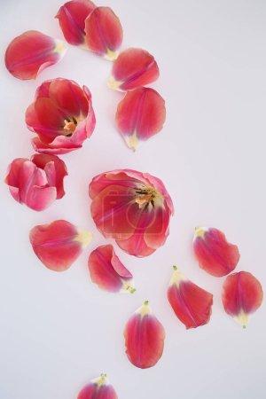 Photo pour Vue du haut des tulipes et des pétales éparpillés sur fond blanc - image libre de droit