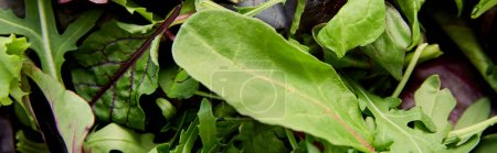 Photo for Top view of greenery and salad leaves, panoramic shot - Royalty Free Image