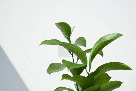Photo pour Feuilles vertes et fraîches près du mur blanc - image libre de droit