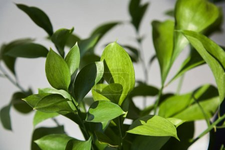 Photo for Selective focus of fresh green leaves at home - Royalty Free Image