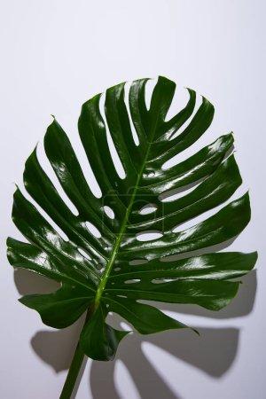 Photo pour Feuille verte tropicale fraîche sur fond blanc avec ombre - image libre de droit