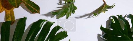 Photo pour Plan panoramique de feuilles vertes tropicales fraîches sur fond blanc avec ombre - image libre de droit