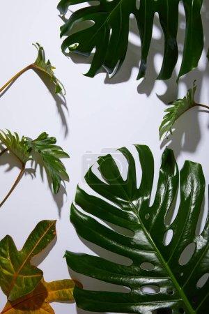 Photo pour Feuilles vertes tropicales fraîches sur fond blanc avec ombre - image libre de droit