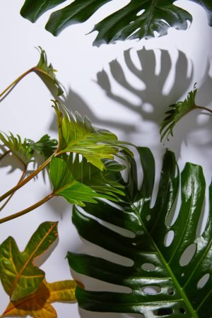 fresh tropical green leaves on white background with shadow