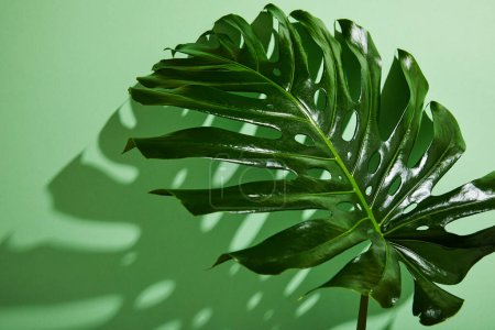 Photo for Fresh tropical leaf on green background with shadow - Royalty Free Image