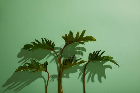 Photo for Fresh tropical green leaves on green background with shadow - Royalty Free Image