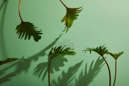 Photo pour Feuilles vertes tropicales fraîches sur fond vert avec ombre - image libre de droit
