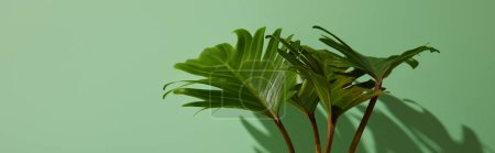 Photo pour Plan panoramique de feuilles vertes tropicales fraîches sur fond vert avec ombre - image libre de droit