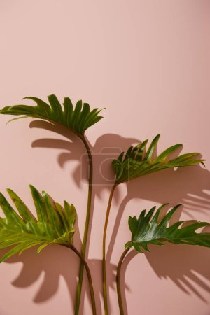 fresh tropical green leaves on pink background