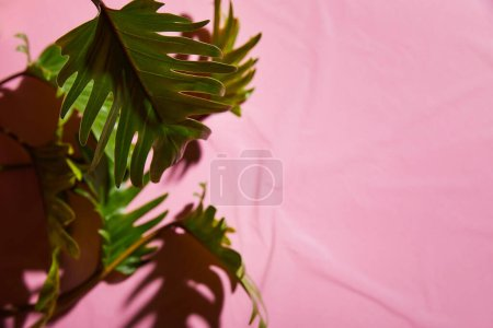 selective focus of fresh tropical green leaves on pink plastic background