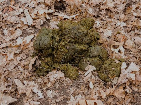 Photo for Horse dung close-up for background, detailed, on the dirt horseback trails through trees on the Yellow Fork and Rose Canyon Trails in Oquirrh Mountains on the Wasatch Front in Salt Lake County Utah USA. - Royalty Free Image