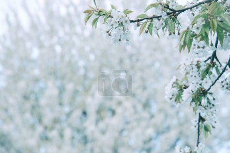 Photo pour Les fleurs des cerisiers fleurissent un jour de printemps. Espace de copie . - image libre de droit