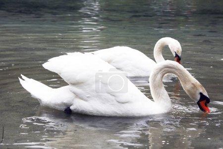 Photo pour Cygnes sauvages nageant dans un étang - image libre de droit