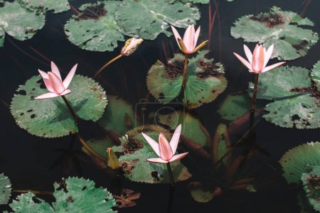 Pink water lilies on lake