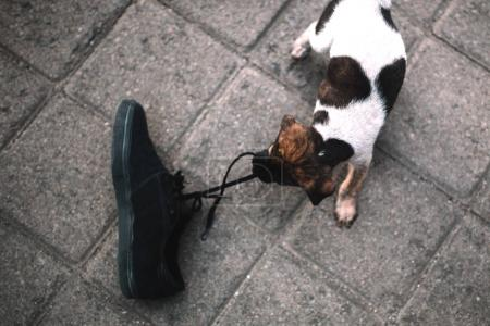 puppy playing with boot
