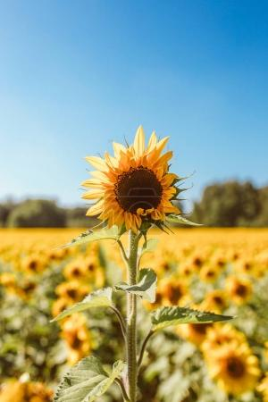 Sunflower field during sunshine