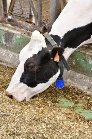 Thiverval Grignon, France - august 13 2016 : cow in Agroparistec