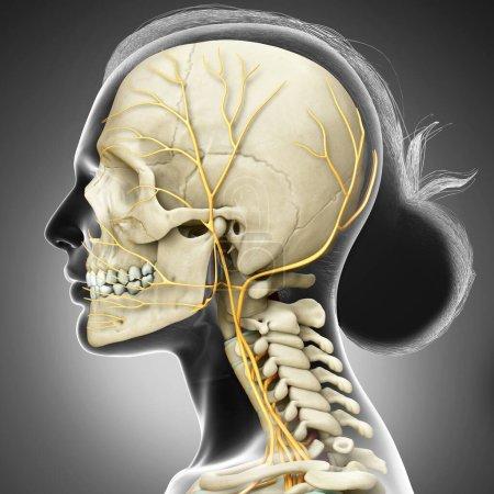 Photo pour 3d Illustration médicalement exacte du système nerveux de tête et du système squelettique de la femme - image libre de droit