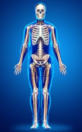 Photo pour 3d Représentation médicalement exacte du système nerveux et du système squelettique - image libre de droit
