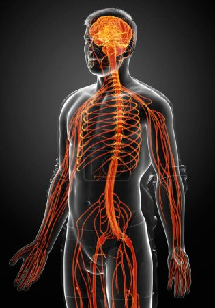 Photo pour 3d Illustration médicalement exacte d'un système nerveux masculin - image libre de droit