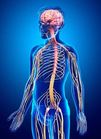 Photo pour 3d a rendu médicalement exacte l'illustration d'un système nerveux chez un jeune garçon - image libre de droit