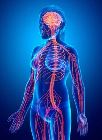 Photo pour 3d Illustration médicalement exacte d'un système nerveux chez une jeune fille - image libre de droit