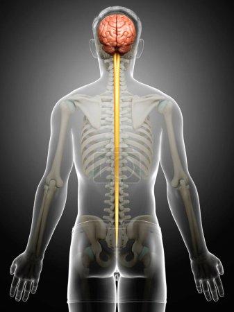 Photo pour 3d a rendu médicalement exacte l'illustration d'un cerveau masculin - image libre de droit