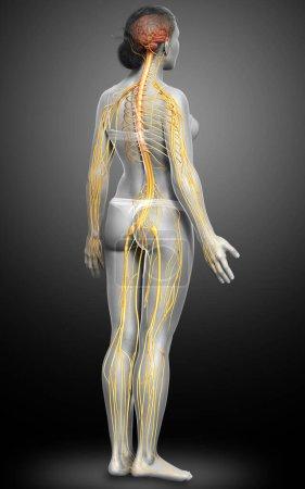 Photo pour 3d Illustration médicalement exacte d'un système nerveux féminin - image libre de droit