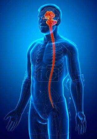 Photo pour 3d a rendu médicalement exacte l'illustration d'une anatomie cérébrale interne chez la femme - image libre de droit