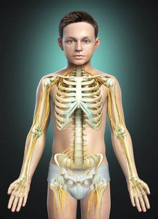 Photo pour 3d Illustration médicalement exacte d'un système nerveux et d'un système squelettique chez un jeune garçon - image libre de droit