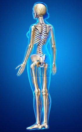 Photo pour 3d Illustration médicalement exacte du système nerveux et du système squelettique de la femme - image libre de droit