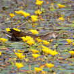 One young common moorhen (Gallinula chloropus) bet...