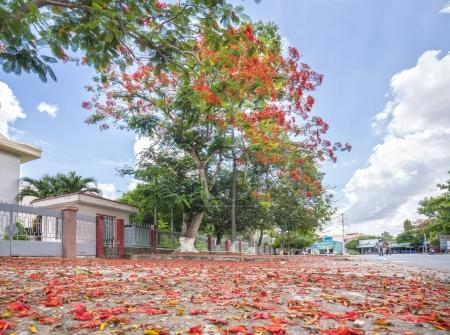 Red Carpet royal Poinciana flowers bloom