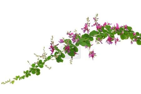 bush clover, lespedeza bicolor, japanese clover, hagi