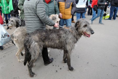 Photo for MOSCOW - MARCH 18, 2017: Irish wolfhound dogs at Saint Patrick's Day celebration in Moscow. Sokolniki park. Color photo. - Royalty Free Image