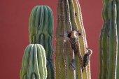 """Постер, картина, фотообои """"Гила дятлы продовольствия с учетом их гнездо в кактус Сагуаро"""""""