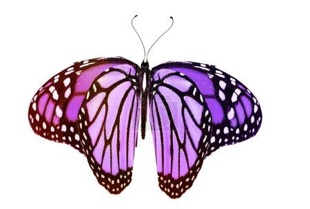 Photo pour Papillon de couleur, isolé sur fond blanc - image libre de droit