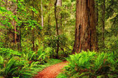 A trail through the Redwood forest in Jedediah Smith Redwood State Park, California