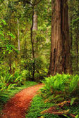 A trail through the Redwood forest in Jedediah Smith Redwood Sta