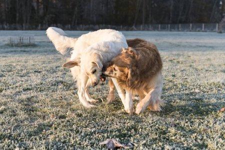 Golden Retrievers Playing
