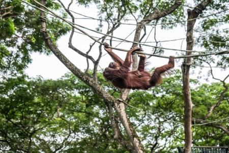 Orangutan is climbing on rope