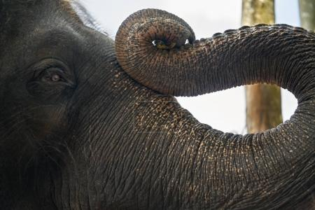 Trunk and face of asian elephant