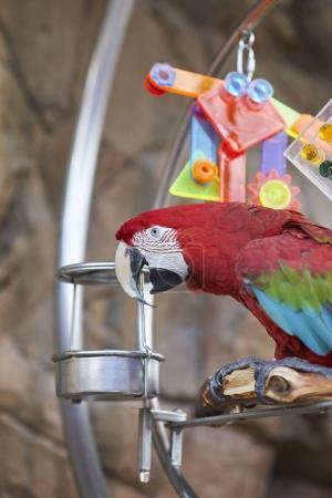 Photo pour Démonstration du perroquet (aras) au Disney World - image libre de droit