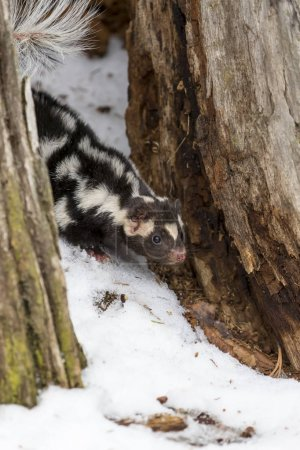 Spotted Skunk In The Snow