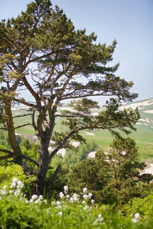 Summer mountain landscape. Tree on background of mountain landscape