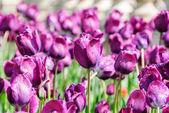 Tulipány, valentines den pozadí