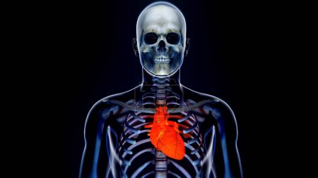 Human Body Transparent Heart Modern Anatomical Concept