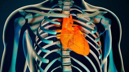 Human Body Transparent Heart Modern Anatomical Concept