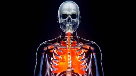 Human Body Transparent Throax Lung System Modern Anatomical