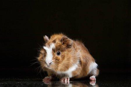 Little guinea pig on black
